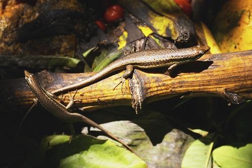 Ještěrka Seychely